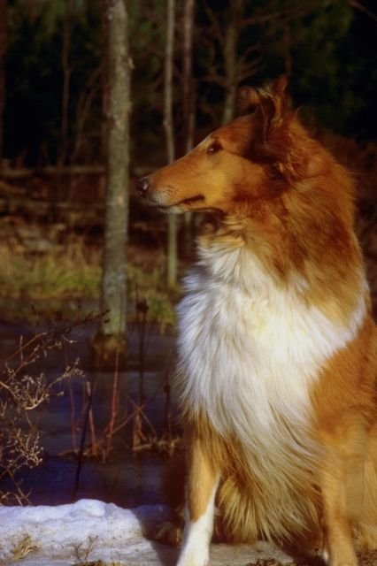 THE COLLIE DOG